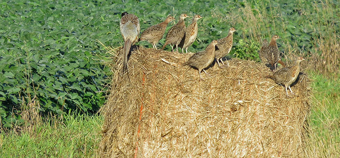 pheasant brood