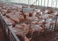 iowa hogs