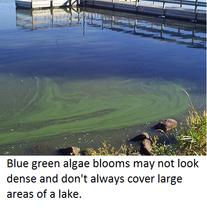blue green algae 1