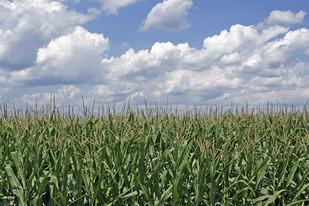 ohio cornfield