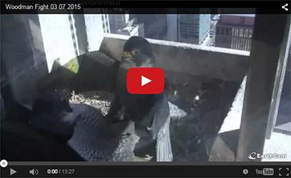Falcon drama video