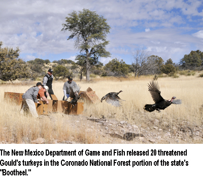 Wild turkeys trapped relocated in new mexico for New mexico department of game and fish