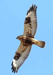 light-phase rough-legged hawk