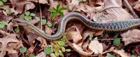 eastern garter snake digesting meal