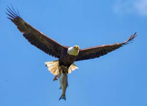 bald eagle carrying striped bass