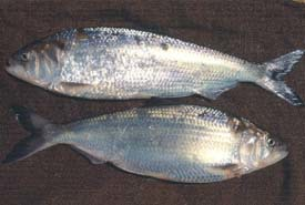 two adult American shad