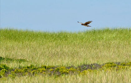 A hawk flying over a field