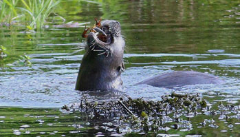 river otter with crayfish