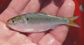 young-of-the-year Atlantic menhaden