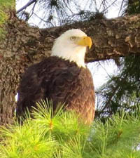 adult bald eagle in pine tree