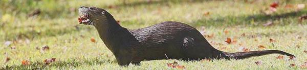 river otter - courtesy Deborah Tracy-Kral (see 9/23)
