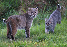 adult bobcat and kitten