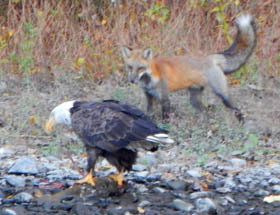 adult bald eagle and red fox