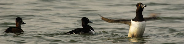 ring-necked ducks by Ryan Hagerty, courtesy U.S. Fish & Wildlife Service