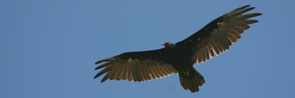 turkey vulture courtesy of Mike Pogue