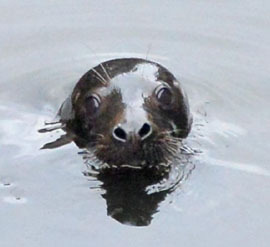 seal head shot by John Carl D'annibale courtesy Albany Times-Union