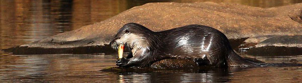 river otter feeding on yellow perch - courtesy of Deborah Tracy-Kral