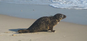 released gray seal heading for the surf