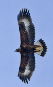 young golden eagle in flight