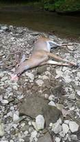 A deer that has died from EHD
