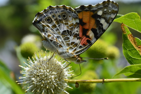 Painted Lady on Buttonbush