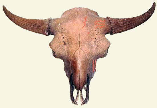 Cooper Bison Skull_Creme Bkgrnd