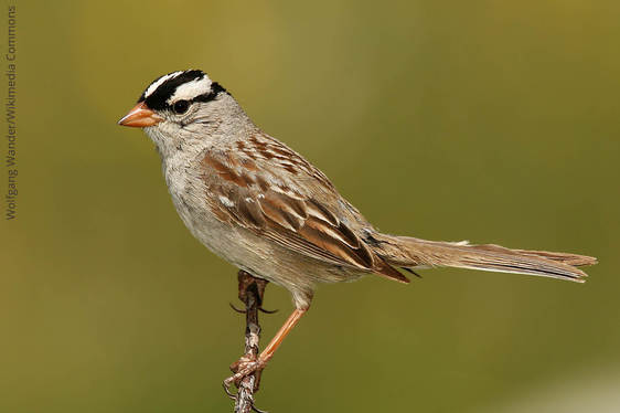 White-crowned Sparrow_Wolfgang Wander