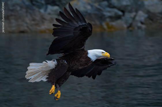 Bald Eagle_Jeremiah Zurenda