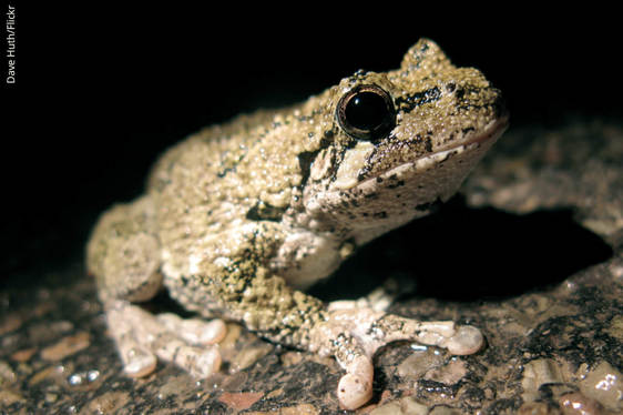Gray Treefrog_Dave Huth_Flickr
