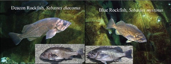 Deacon and blue rockfish