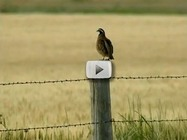 Bobwhite quail video