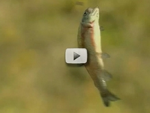 rainbow trout leaping