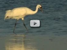 whooping crane in marsh