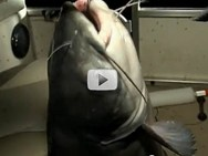 very large catfish onboard