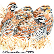 Illustration of bobwhite quail
