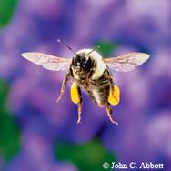 Image of common eastern bumblebee