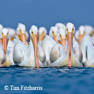 gang of white pelicans on water, looking at you
