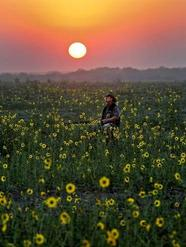 man, kneeling in sunflower field, sunset