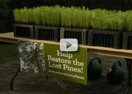 table holding trays of loblolly pine seedlings