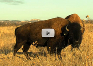 bison close up in field