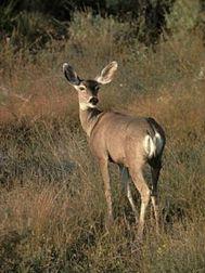 mule deer in grass