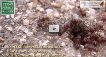 hundreds of harvester ants at their mound