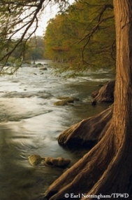 bald cypress in foreground, creek in background