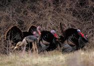 turkey gobblers against fall grasses