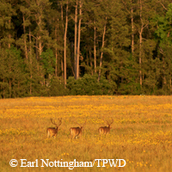 3 bucks, golden field, piney woods background