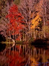 colorful fall trees, reflected in pond