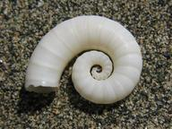 spirula shell coiled white, gray background