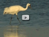 2 whooping cranes fishing in marsh