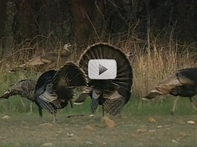3 turkeys against brush, close up