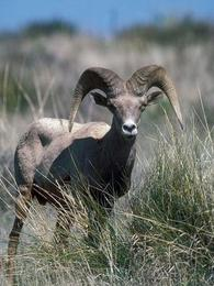 big horn sheep in the wild, pretty close